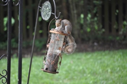 My squirrel proof feeder is not quite so...