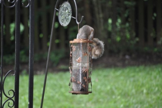 This squirrel figured out how to take off the bungee cord holding the top...