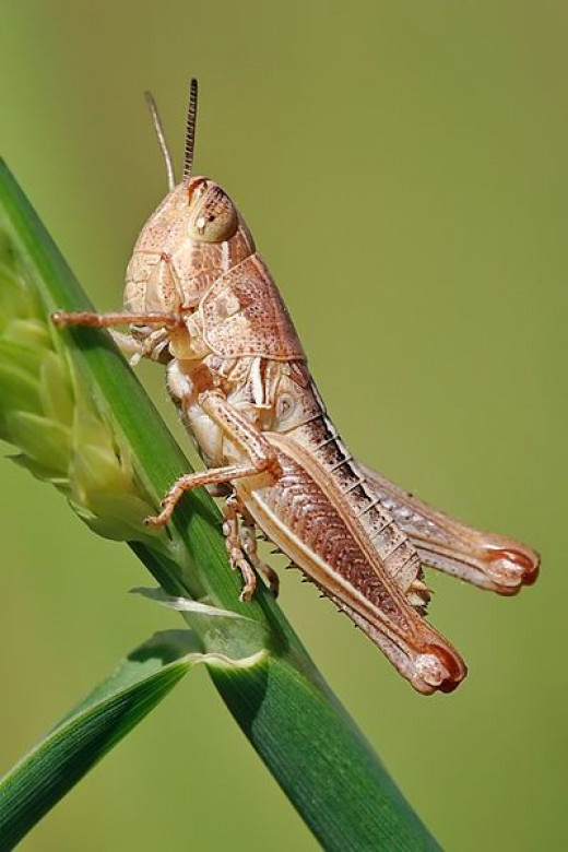 Not yet chocolate-covered grasshopper