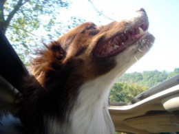 This Australian Shepherd is much happier when he has a job to do