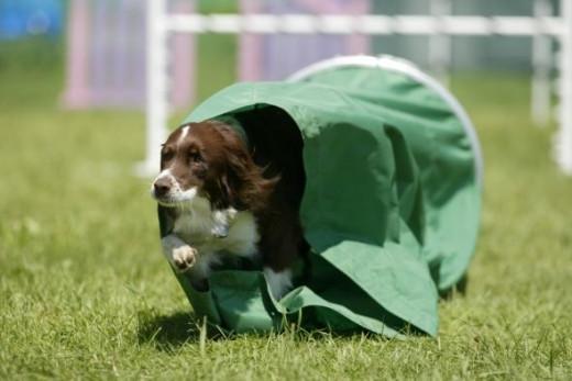 Killian loves the agility course.