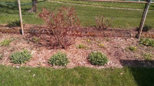 At the back of the yard, another rose bush and some other greenery (not yet blooming?)