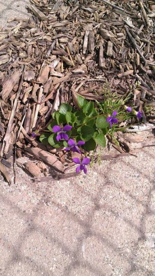 On the other side of the garage, some humble violets sprout by the driveway...