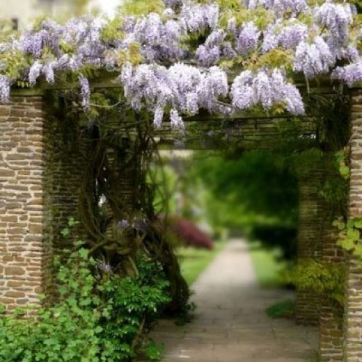 wisteria, courtesy of Anna Cernova