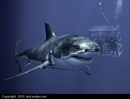 Great White Shark in Guadelupe Mexico