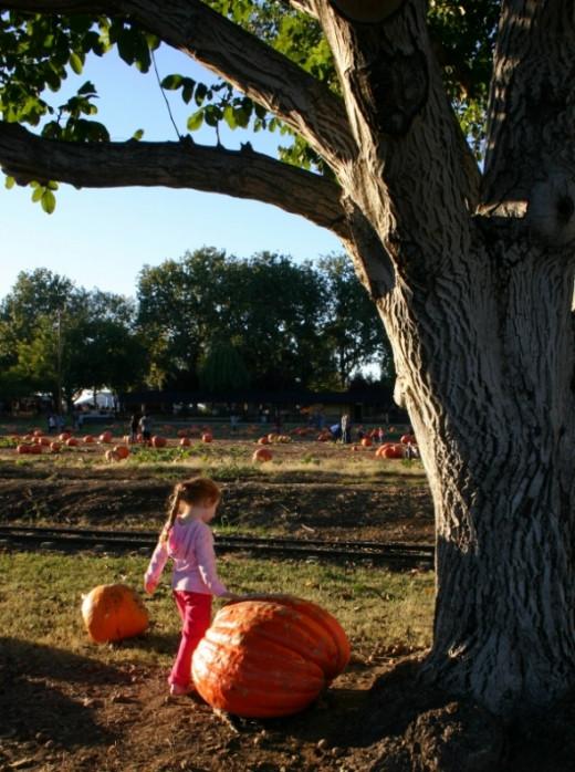 Bishop's Pumpkin Farm Wheatland CA giant pumpkins