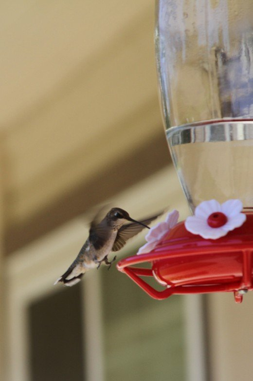 Even when given the option to perch, some birds prefer to show off their hovering skills.