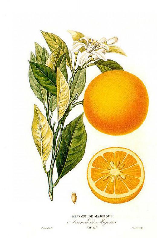Citrus sinensis (L.) Histoire et culture des orangers A. Risso et A. Poiteau. -- Paris Henri Plon, Editeur, 1872