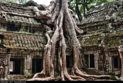 Trees Growing out of Angkor Wat Temple