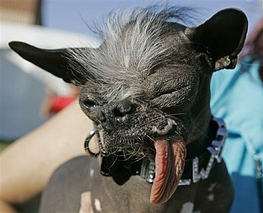 Elwood, a Chinese Crested / Chihuahua Ugly Dog 2007