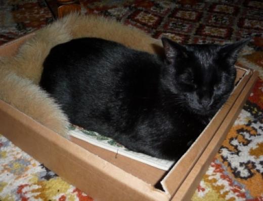 Suki the Cat in her cardboard box