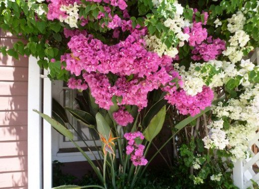 Bougainvillea in front yard at the side of my front door.