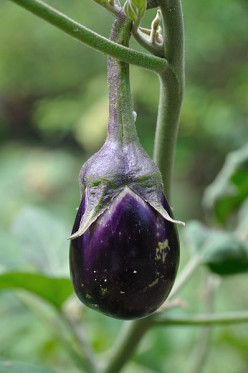 Eggplant Tomato Stew