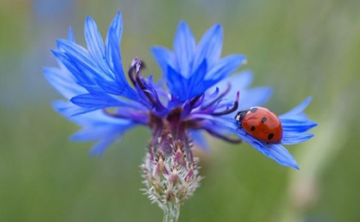 Blue Cornflower - Photo Credit: realworkhard