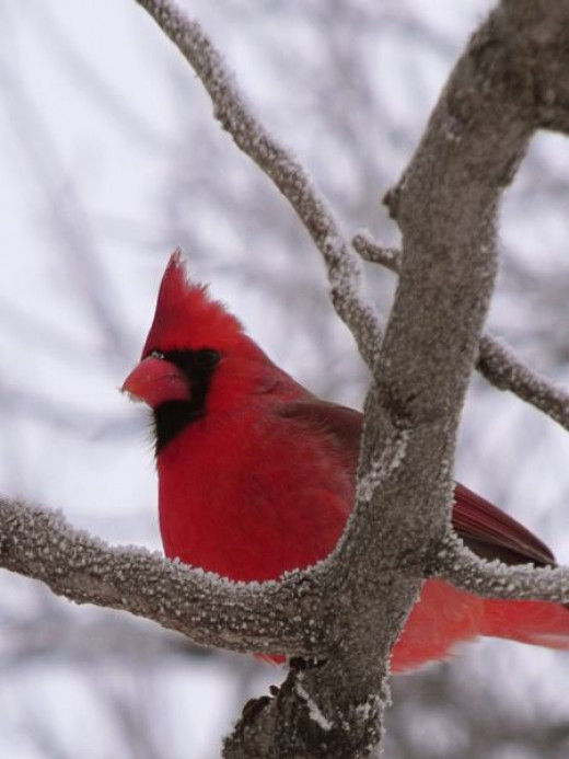 A red cardinal outside my window