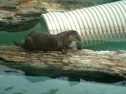 When other animals are still the otters will always be moving around. They have been there so long they will look at you and almost wave.