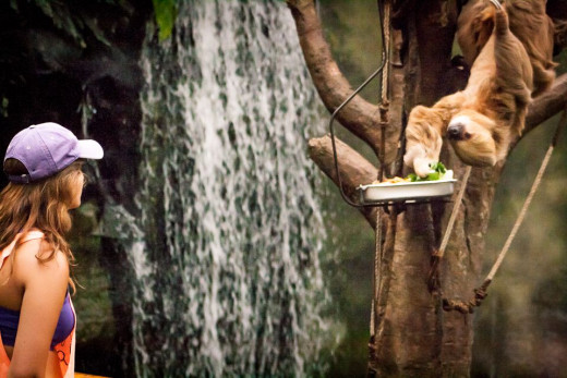This slow loris rarely moves, except at feeding time
