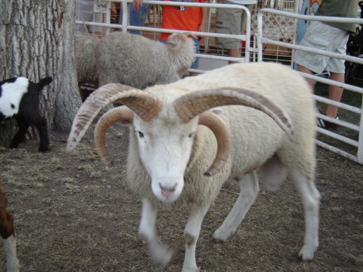 Special four horned goat