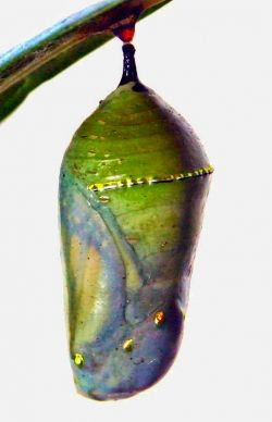 The butterfly begins to appear within the chrysalis