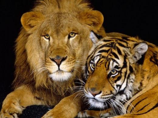 Lion or Tiger?
