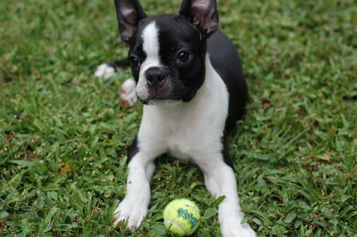 Little dogs love to fetch too. Chuckit has a smaller version that launches smaller balls for smaller dogs. CC https://www.flickr.com/photos/elvissa/