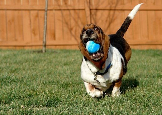 """I got the ball, I got the ball!"" this Basset Hound seems to say as he runs with his short legs.CC by https://www.flickr.com/photos/patchattack/"