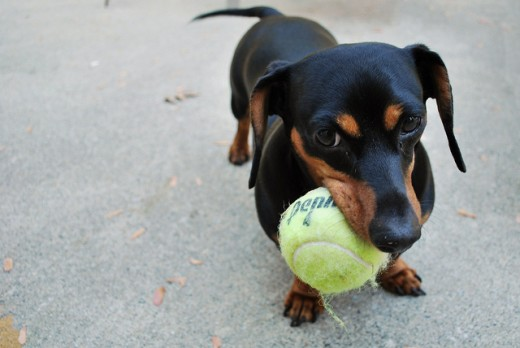 This little Dachshund takes on a ball that is even too big for him.CC by https://www.flickr.com/photos/ashtynrenee/