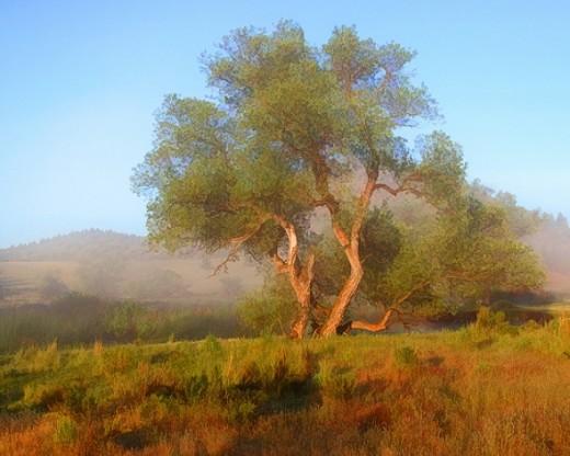 #427B - TREE IN THE MIST TS (1:1.25)