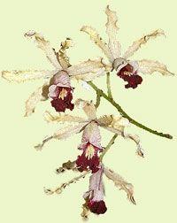 Wild Banana Orchid