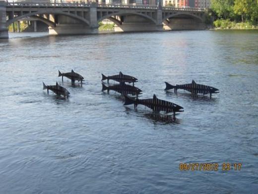 FISH SWIMMING UPSTREAM IN THE GRAND RIVER
