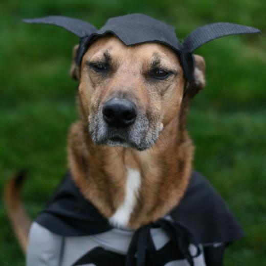 Dog as Batman for Halloween - So Cute!