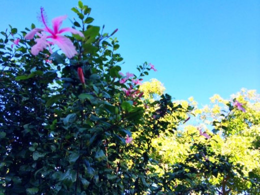 At the start of the trail, hibiscus and plumeria trees welcome you.