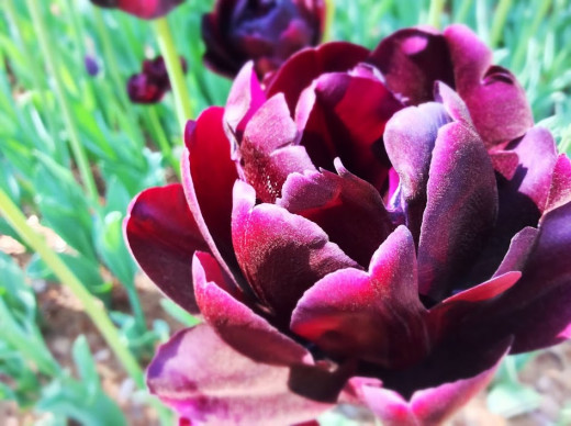 Walking through a park in spring, the tulips called to me.