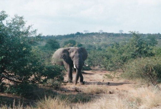 Elephant in Wankie Game Reserve