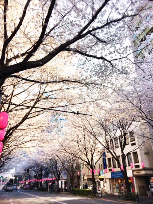 Sakura in full bloom all over the city.
