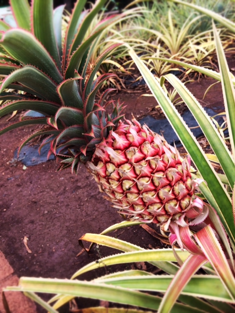 Pineapple grows on the other side of the island.