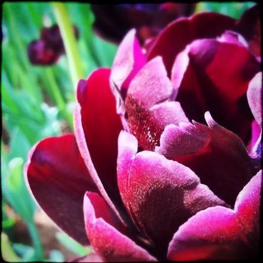 Tulip at Showa Kinen Park