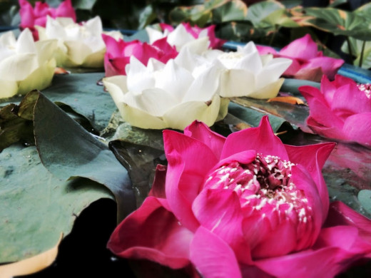 Lotus flowers greet visitors at Jim Thompson's House.