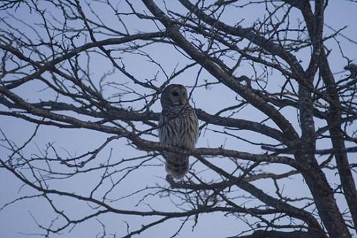 Barred Owl Fourth Shot