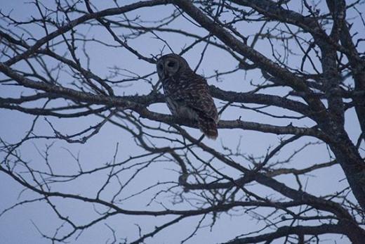 Barred Owl Sixth Shot