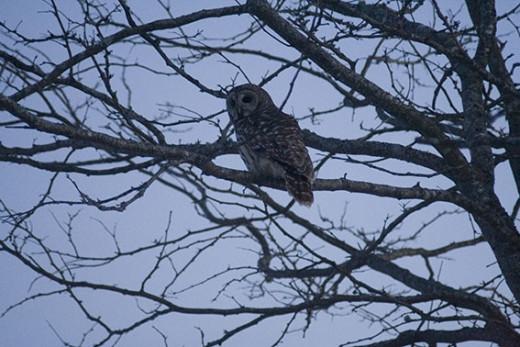 Barred Owl Seventh Shot
