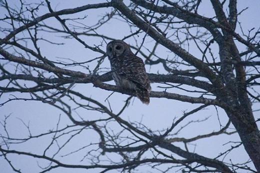 Barred Owl Eighth Shot