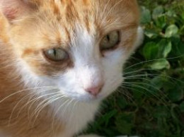 How Vet Can Tell Cat Urinary Infection