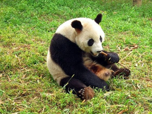 Panda at  Chengdu reserve--photo on site Gift ideas for Young Girls: Families with Children from China