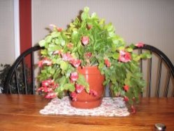 How To Care For A Christmas Cactus