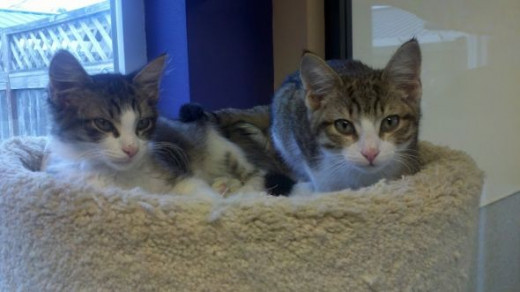 I also volunteer at our Humane Society every week.  They are a wonderful rescue organization.  Plus, I get to snuggle with cute kittens, like Oliver and Rufus here.  They found homes within days, since they are such cuties.