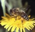 Help! Stop the Honey Bee Extinction