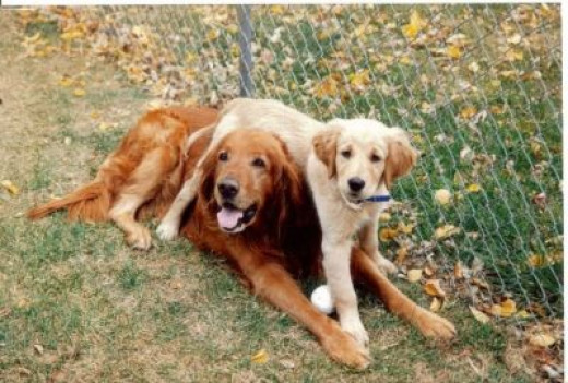 "Puppy Frisco ""pinning"" elderly Rocky"