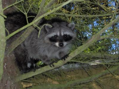 Baby Raccoon In A Cedar Tree