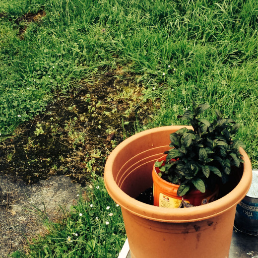 Now we have our own little bucket of this fine smelling herb to grow and experience all the many uses it can give us.